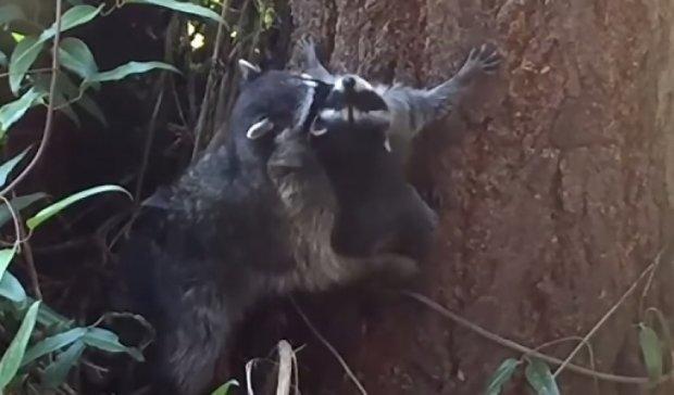 Мама-єнот вчить малюка лазити по деревах - вибух мережей (відео)