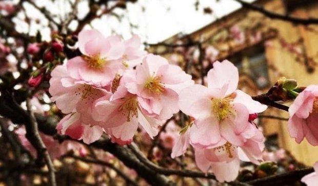 В Мукачево уже цветет сакура (фото)