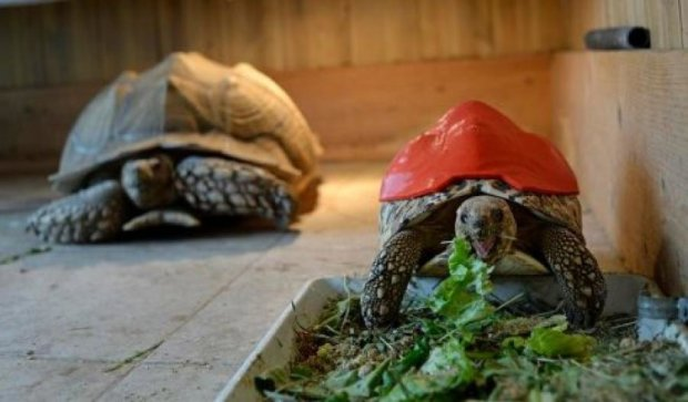 Для больной черепахи напечатали 3D-панцирь