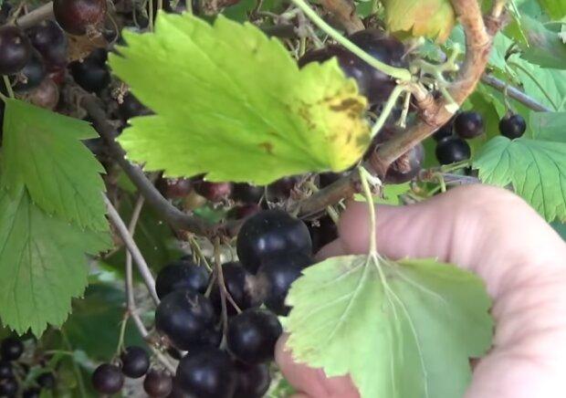 Чорна смородина, скріншот відео