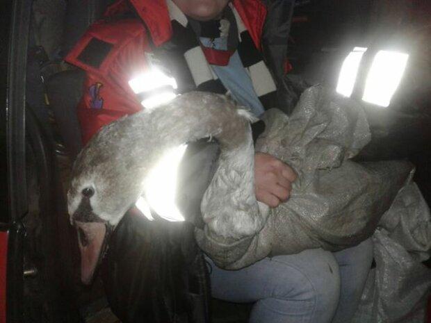 Под Киевом лебедь-кусака отомстил людям с фонариками