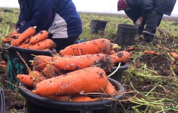 Моркву не чіпатимуть шкідники, а врожай буде ідеальним, прості поради усім огородникам