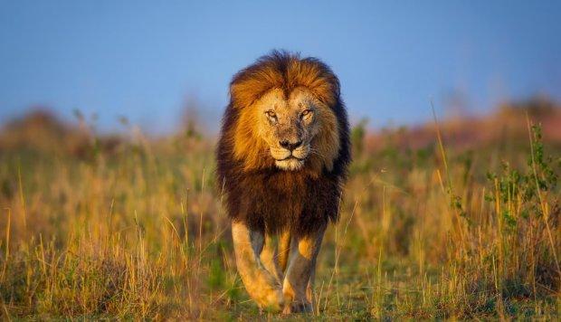 """Ученые обнаружили """"дедушку"""" современных львов: настоящий гигант"""