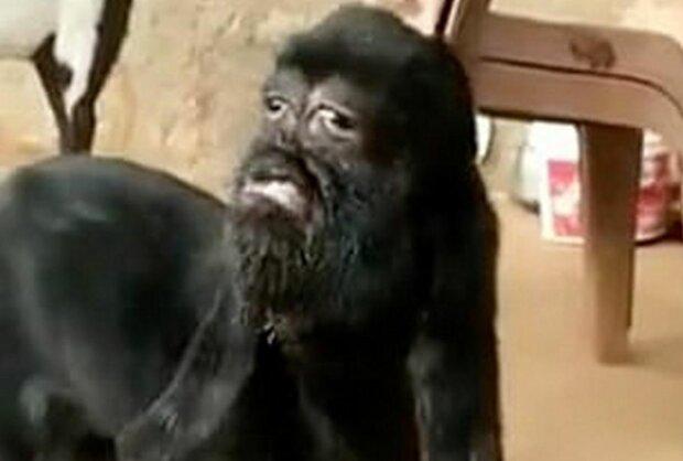 Крошечный козел-мутант с человеческим лицом стал воплощением Бога