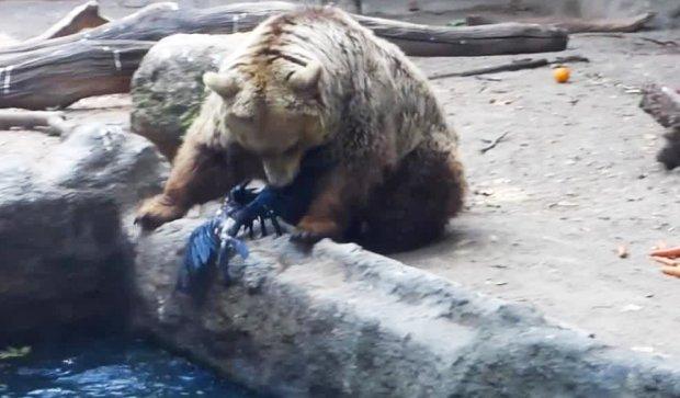 Ведмідь врятував потопаючу ворону (ВІДЕО)