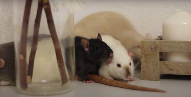 Крыса в вагине: украинцам показали, как в древности наказывали неверных женщин