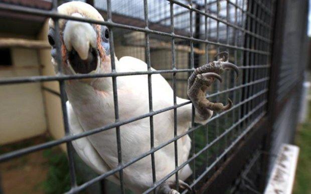 Папуга від туги заспівав мелодію з iPhone: відео