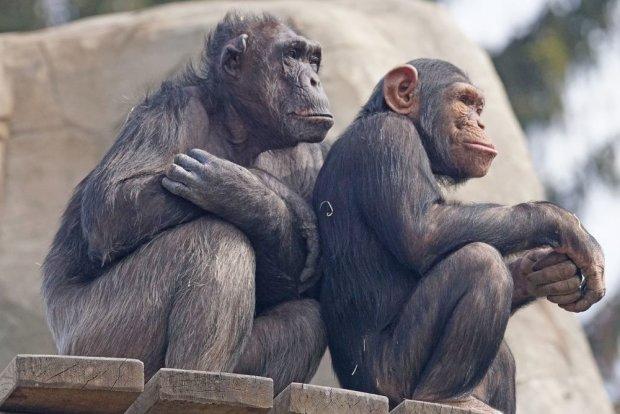 Невербальне спілкування шимпанзе нагадує людське: дійсно родичі