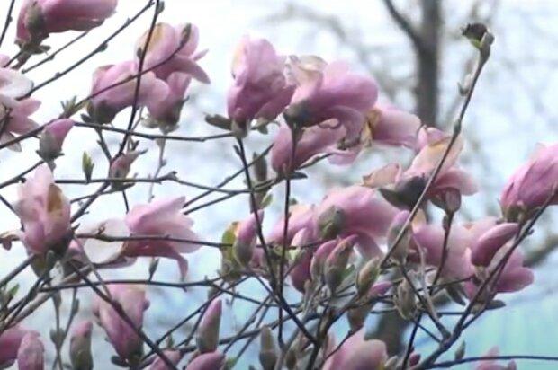 магнолии, скриншот из видео