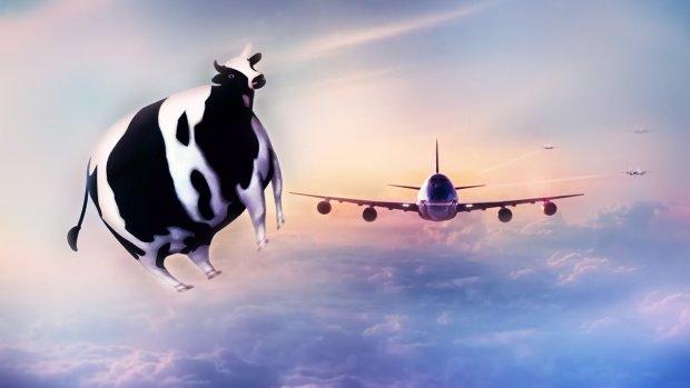 Буренка из-под облаков: корова попробовала себя в роли ласточки, посмотреть на зрелище собрался целый город