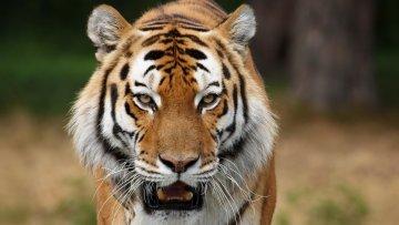 На очах у дітей: у Криму ненаситний тигр створив з козлом таке, що погано стало навіть окупантам