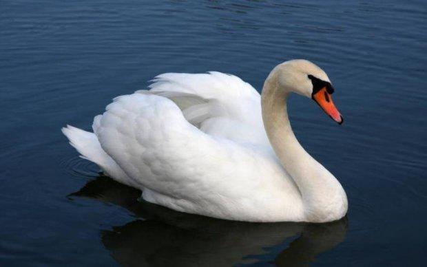 В Кременчуге из-за отключений воды лебеди выгоняют людей из озер