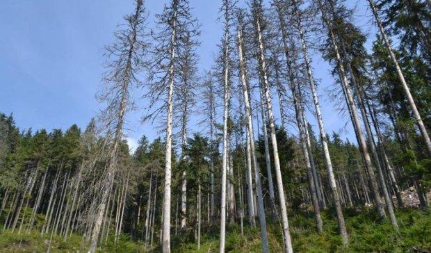 Украина теряет карпатские леса