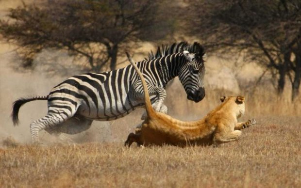Храбрая зебра показала, что такое на самом деле неудачный день