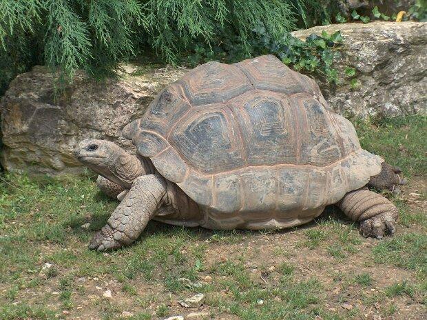 Гигантская черепаха. Фото: Википедия.