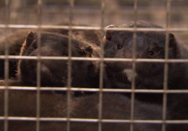 Норки на звірофермі, скріншот відео