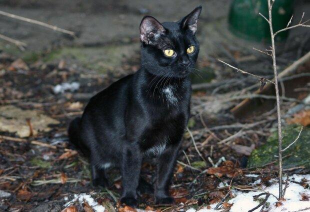Чорна кішка, фото: Pixabay