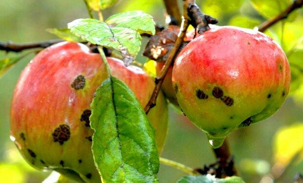 Парша на яблуках, скріншот: YouTube