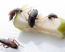 Тараканы: еда