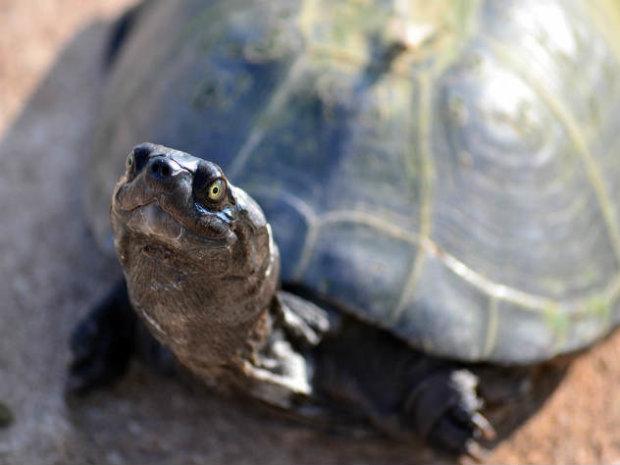 Бій з тінню: смілива черепаха відчайдушно боролася з відображенням, однак безуспішно. Мережі заливаються реготом