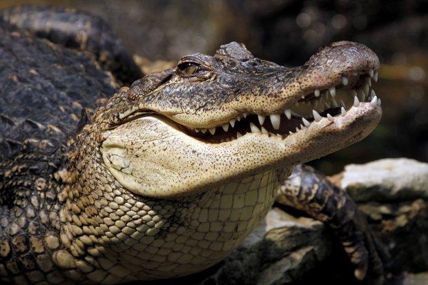 А ну віддай рибу: відчайдух побився із крокодилом за здобич, одразу видно - хто голодний