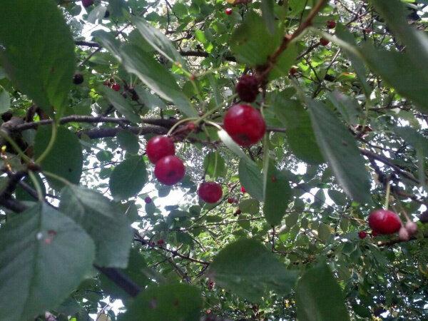 На Тернопільщині вишні переплутали осінь з весною - багатий урожай у вересні