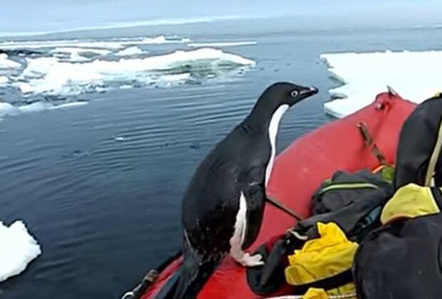 Пингвин, скриншот: YouTube