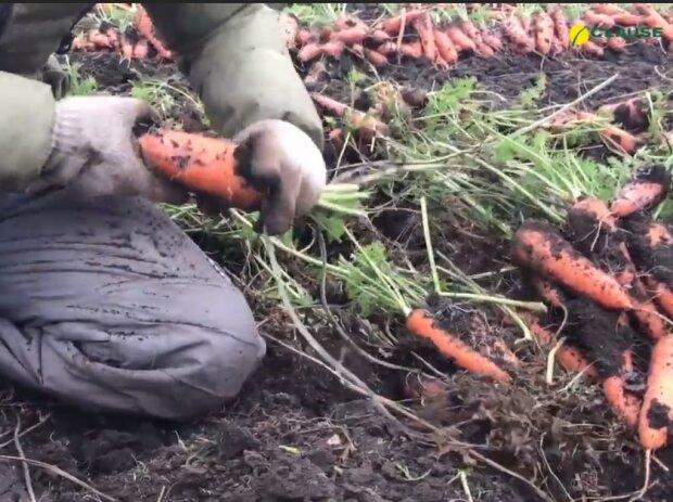 Вирощування моркви, скріншот відео