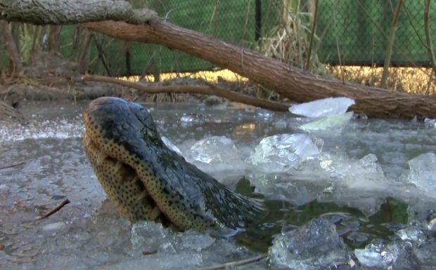 Гігантські алігатори намертво вмерзли в лід: фото унікального явища