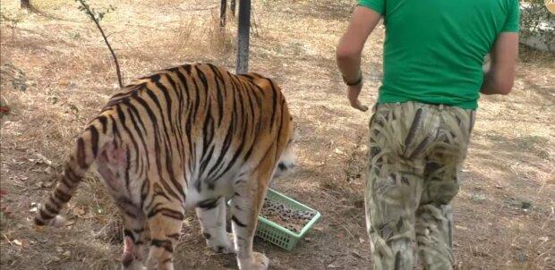 Тигр, фото: скриншот из видео