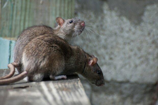 """Киевский супермаркет терроризирует гигантская крыса: """"Нырнула в коробку с..."""", - кадры не для брезгливых"""