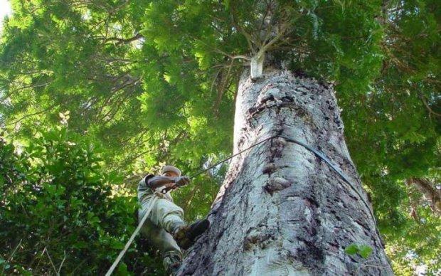 Новий вид дерев побив усі рекорди