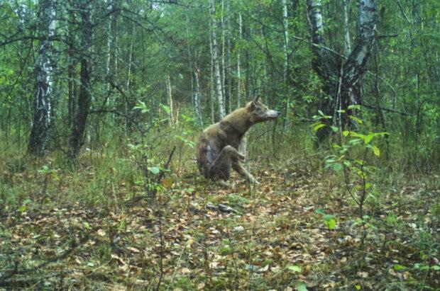 У Чорнобилі хижаків косить дивна хвороба: чешуться і страждають