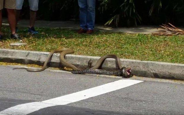 Гігантська кобра розправилася з пітоном: моторошне відео