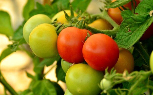 помідори, фото Pxhere