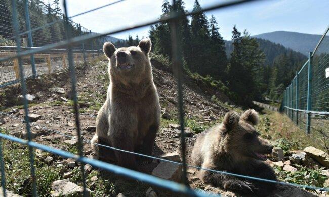 Три ведмеді у коноплях: під Франківськом наштовхнулися на неймовірне, - відео усе пояснить