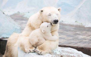 Берлінський зоопарк поділився зворушливим відео. На ньому маленький ведмедик обіймається з мамою і вчиться ходити. Користувачі у захваті