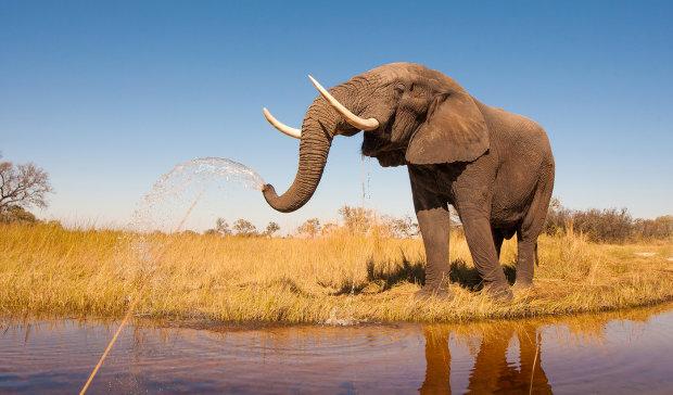 Зоозахисники обурені: слон намагався підкріпитися і застряг в паркані, який огороджує поля. Для тварини історія закінчилася трагічно