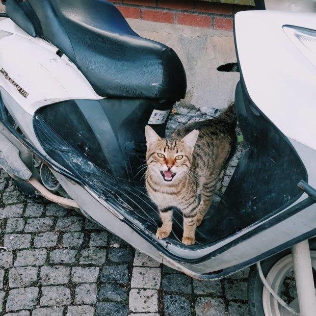 Кішка-феміністка бореться за рівні права за допомогою гострих кігтиків: кумедне відео