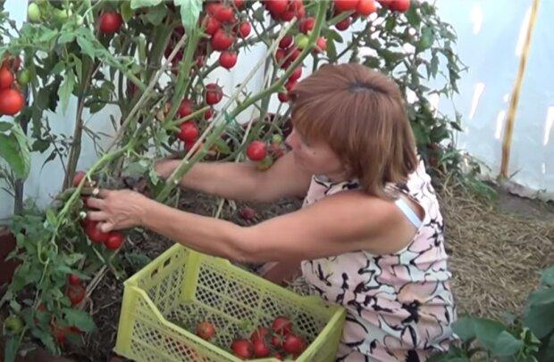 помідори, скріншот з відео