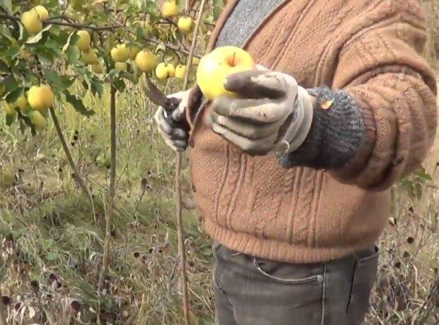 Підживлення дерев врятує вам урожай, маленькі хитрощі і яблука не осипатимуться