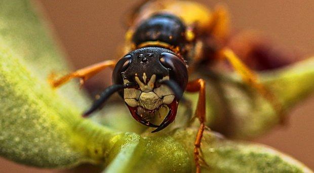комахи