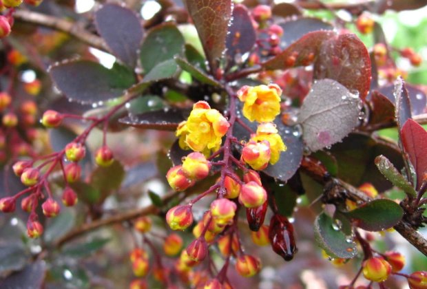 В Ужгороді цвітуть дерева, що мають унікальні властивості: зцілює від важких недуг