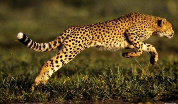 У зоопарку США приспали найшвидшу кішку планети Сару
