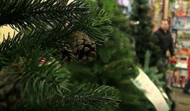 Як правильно обрати ялинку на Новий рік: прості поради для кожного українця