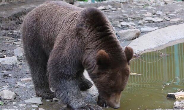 Бурый медвежонок: скриншот из видео
