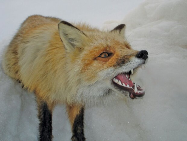 Скажена лисиця, Ілюстративне фото