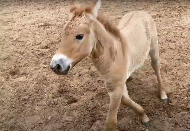 Клонований кінь, фото: youtube