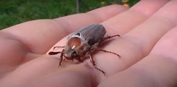 Майский жук, скриншот из видео