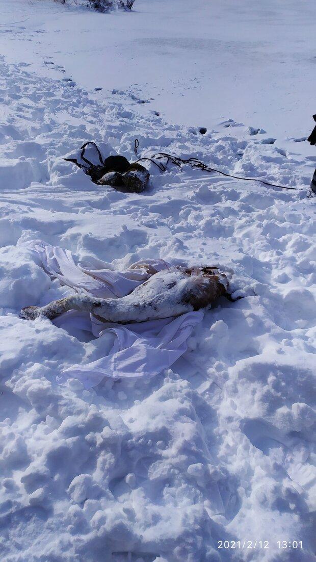 На Львовщине неравнодушные спасали лебедей, фото с фейсбук